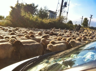 Surrounded by sheep in Romania