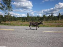 Reindeer running past us in Lapland